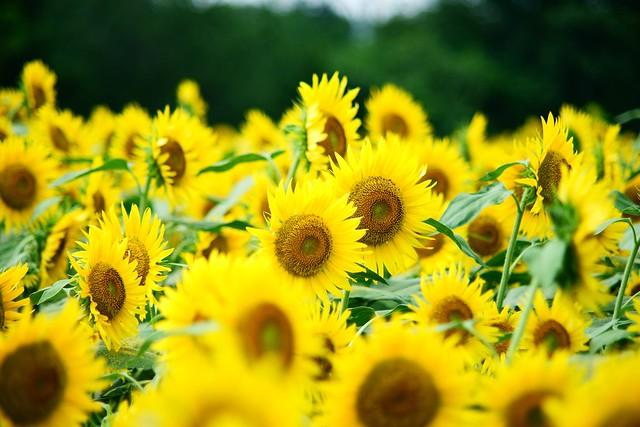 Обои подсолнухи, желтый, много картинки на рабочий стол, раздел цветы - скачать