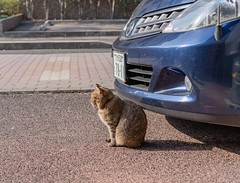 I am guarding my owners car not sleeping. (t_eriguchi) Tags: streetphoto batis zeissbatis40 sunnyday japan car guard street cat