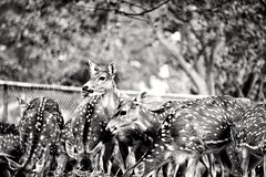 A bachelor herd (mehul_kmr) Tags: bnw deer herd wildlife jungle photooftheday photography amature