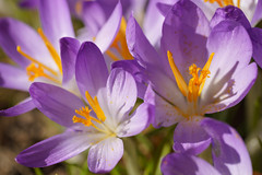 Krokus Blüten (KaAuenwasser) Tags: krokus krokusse frühjahr frühling blumen blüte blüten zier zierde zierblumen beet park anlage wiese makro pflanze 2019 sony ilce7rm3