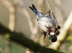 Tarin des aulnes (michelpedu1) Tags: tarindesaulnes carduelisspinus eurasiansiskin passériformes fringillidés ddd mazeres ariege 09