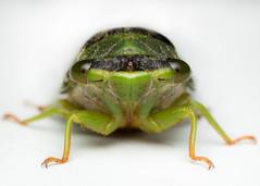 Cicadellidae (Javier Chiavone) Tags: argentina canon7dii chicharra cicadellidae mpe65 macro macrofotografía macrophotography marcospaz naturaleza nature