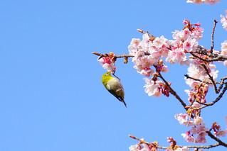 Acrobat sucking nectar