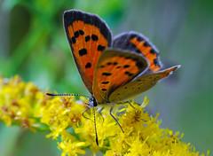 American Copper (Laurie Paulik) Tags: americancoppers butterflies coppers vilascounty wisconsin
