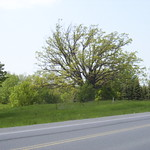 000018 - Allanburg Oak Tree 2003
