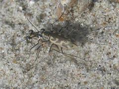 Ellipsoptera macra macra, mating pair (tigerbeatlefreak) Tags: ellipsoptera macra insect tiger beetle coleoptera cicindelidae nebraska