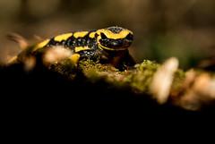 Notre dragon IV (Eric Penet) Tags: salamandre salamander firesalamander tachetée animal sauvage hiver france faune wildlife wild amphibien batracien halatte forêt oise picardie macro macrophotographie