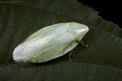 Cockroach (Panchlora sp.) (pbertner) Tags: rainforest rainforestexpeditions panchlorasp cockroach amazon tambopata tambopataresearchcentre trc nocturnal understory southamerica peru perunature madrededios puertomaldonado