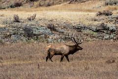 A-3217 (markbyzewski) Tags: elk bird magpie landscape rockymountainnationalpark estespark colorado