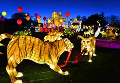 Lions of Longleat (Beardy Vulcan II) Tags: england autumn fall christmas chrimbo xmas november 2016 longleat wildlife wiltshire lantern night sky sculpture lion