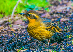 Varied Thrush--DSC9718--Port Orford, OR (Lance & Cromwell back from a Road Trip) Tags: birds thrush variedthrush lawn lawnbirds portorford currycounty oregon oregoncoast wildlife sony sonyalpha a57 tamron 150600mm tamron150600mmg2