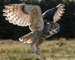 Great Horned Owl_T3W1903 (Alfred J. Lockwood Photography) Tags: alfredjlockwood nature birdsinflight birdsofprey greathornedowl canadianraptorconservancy crc ontario canada autumn morning takeoff