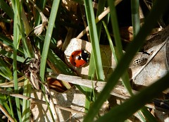 Three's company! (rockwolf) Tags: 7spot coccinelle ladybird 16spot beetle coleoptera coccinellidae coccinelleà7points coccinelleà16points insect nurserywebspider arachnid lythhill shropshire rockwolf