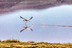 The Sprinting James (Ben-ah) Tags: flamingo lagunacolorada bolivia redlagoon eduardoavaroaandeanfaunanationalreserve potosi jamessflamingo harryberkeleyjames andeanflamingo phornicoparrusjames laguna lagoon water algae