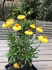 Yellow daisies (birdsey7) Tags: 2019pad flowers garden yellow