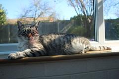 Esmé (charliejb) Tags: esmé cat feline 2019 westburyontrym bristol conservatory sun fur furry furred grey whiskers