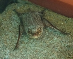 Mauritian tomb bat (Taphozous mauritania) (Mark Vukovich) Tags: bat mammal tomb mauritian taphozous spp ndutu tanzania