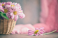 Pink spring (Ro Cafe) Tags: flowers daisies pinkandwhite pastelcolours soft softlight softcolors spring textured nikkor105mmf28 nikond600