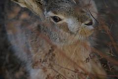 Rusakko (TheSaOk) Tags: rusakko jänis jänö pupu pääsiäinen kevät nurmikko maisteleva rabbit villieläin wild animal bunny spring yleluonto luontokuva nature