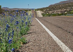 Hwy 170 Bluebonnets, West Texas (sbmeaper1) Tags: sony a7r2 blue bonnets bluebonnets west texas tx desert mexico border flower hwy highway 170 big bend state park