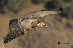 Buitre leonado (Gyps fulvus) (jsnchezyage) Tags: buitreleonado gypsfulvus ave pájaro vuelo bird birding birdwatching ornithology beak feather birdinflight vulture griffonvulture