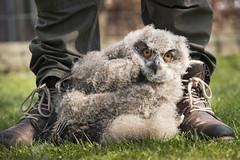 safe (Bram Meijer) Tags: uil uilskuiken owl birdofprey