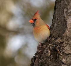 Watch (Slow Turning) Tags: cardinaliscardinalis northerncardinal female bird perched tree trunk bark whitepine pinusstrobus bokeh nature winter southernontario canada