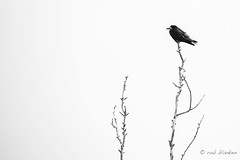 Lonely at the top (Rob Blanken) Tags: engeland lonely crow