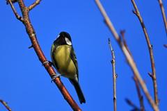 blue (benmccarthyphotography) Tags: canon canon750d cork cobh wildlife birds bird birdwatching