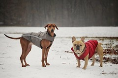 winter has arrived (padl030) Tags: dog frenchy französischebulldogge frenchbulldog animals