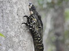 Varanus varius (lace monitor) (Jackson Nugent) Tags: brisbane goanna reptile lizard varanidae varanus varius australia queensland australianwildlife