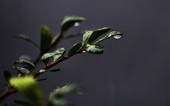 Rainy Day (filmcrazy1014) Tags: nikon nature wildlife outdoor plant leaves branch branches rain water waterdrop raindrop macro bokeh detail grey black green white plants greenleaves waterdrops rainyday