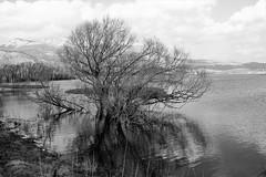Winter sadness... (modestino68) Tags: bn bw albero tree lago lake riflessi reflects koolandthegang