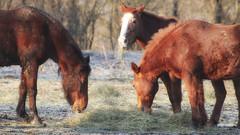 Breakfast (malioli) Tags: horse horses animal morning three canon croatia hrvatska europe