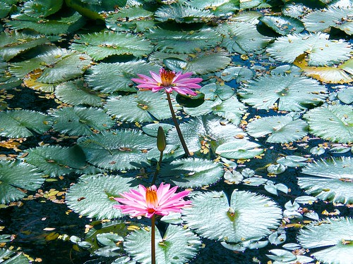 2 Pink Water Lilies