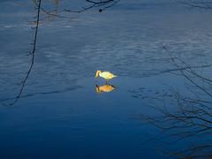 Der eitle Schwan... (Werner Schnell Images (2.stream)) Tags: ws schwan swan eis ice wasser see talsperre spiegel mirror spiegelbild