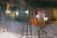 Quintet (The Hobbit Hole) Tags: water swans nikonz nikon sunset 7003000mmf4556 austria loweraustria