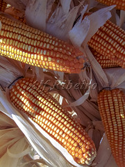 Alf 0006 - 0467 (Alf Ribeiro) Tags: agribusiness agriculture cereal closeup corn macro agricultural background breakfast cob cook cooking crop cuisine culture delicious diet ear eat farm food fresh freshness fruit golden grain harvest health healthy husk ingredient leaf maize meal natural nature nice nutrition organic plant raw ripe stem straw sweet tasty vegetable vegetarian vitamin yellow milho