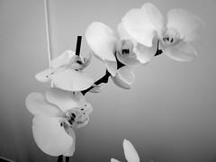 harada-flowers-62 (annie harada) Tags: flowers hana blumen fleurs bouquet noir et blanc black white