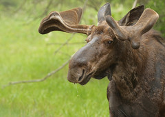 Bull Moose...#14 (Guy Lichter Photography - 4.7M views Thank you) Tags: canon 5d3 canada manitoba rmnp wildlife animals mammal mammals moose bull male