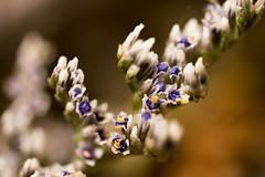 Dried flowers in macro (Pahz) Tags: hereios werehere wah wh macro flowers macroflowers creativephotography fineart bokeh