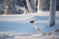 Alone in the Snow (MrBlackSun) Tags: jay bird birds birdlovers birdlover birdwatcher kuusamo nature photography finland nikon d810 nikond850 kuusamonaturephotography