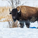Bison - *Explore (Richard Edwards Photography) Tags: