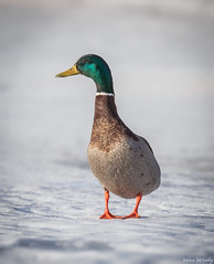 Mr. Mallard (Melissa M McCarthy) Tags: mallard duck bird animal nature wildlife wild waterfowl waterbird drake male green iridescence head snow winter white minimalist simple newfoundland canada canon7dmarkii canon100400isii