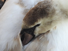 Young Swan resting (suefoxnature (Suzanne S)) Tags: bird waterfowl swan cygnet rspb hamwall naturereserve somerset