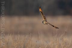 SEO (ThruKurtsLens.com) Tags: 2019 flying kurtwecker nature naturephotographer seos thrukurtslenscom wildlifephotographer wildlifephotography winter