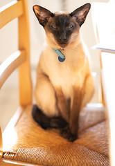 Bella (DavidS_UK) Tags: siamese siamesecat meezer cat animal furry purr puss feline seal point sealpointsiamese bella