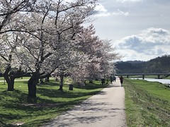 Cherry Blossoms along the Hocking (danbruell) Tags: running hocking athens ohio spring