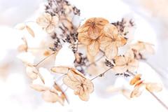 Frozen belle (JP Korpi-Vartiainen) Tags: december finland kuopio pohjoissavo arctic arktinen cold joulukuu kylm㤠lumi luminen luonto nature snow snowy talvi winter 358 kylmä
