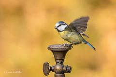 Thirsty Blue Tit D85_7377.jpg (Mobile Lynn) Tags: birds tits autumnal nature bluetit autumn bird cyanistescaeruleus eurasianbluetit fauna oscines passeri passeriformes songbird songbirds tit wildlife coth5